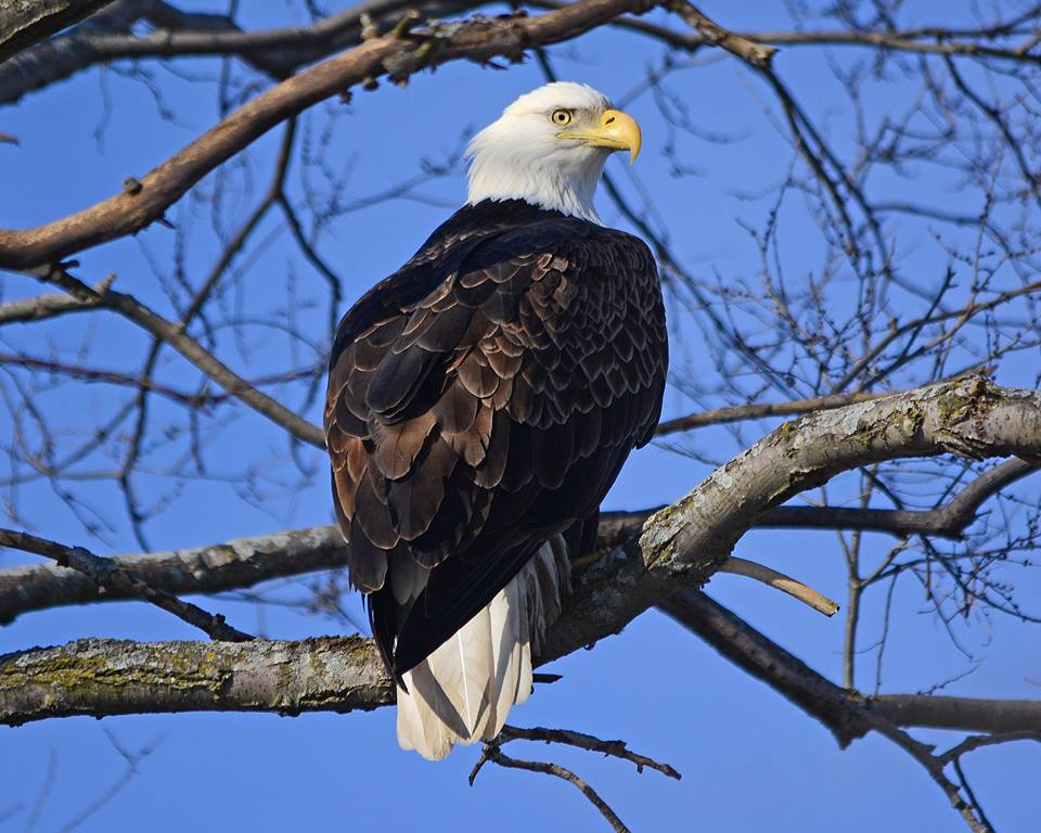 /Bald-Eagle-Birdwatching-on-the-Fox-River